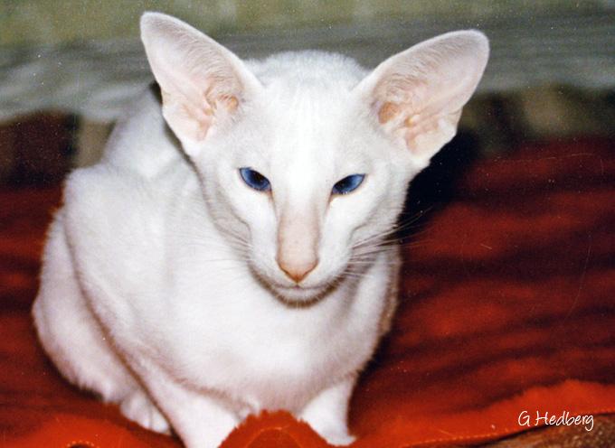 Yum-Bo's Divine White Duchess